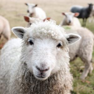 100% Wolle und ein Riesenschaf