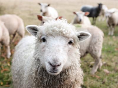 100 Prozent Wolle copyright Sam Carter